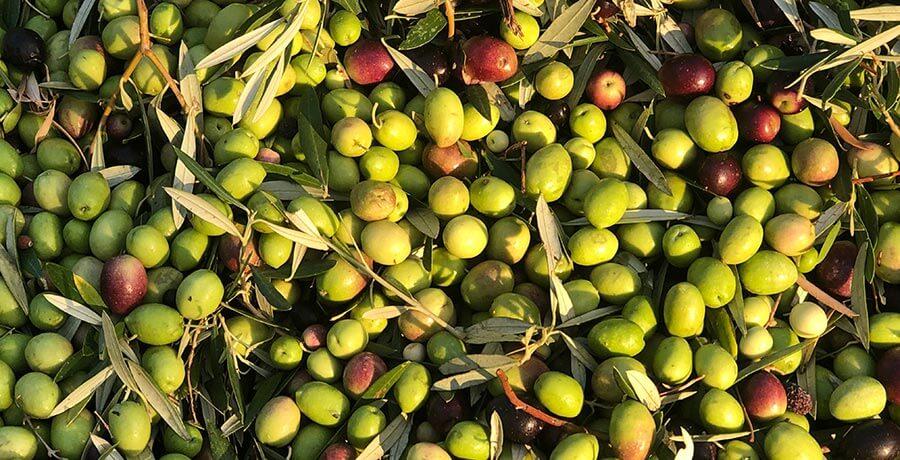 Aceituna arbequina, materia prima del aceite más frutado
