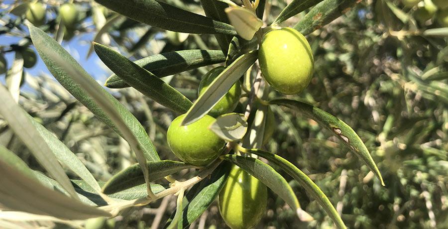 ¿La aceituna es una fruta o una verdura?